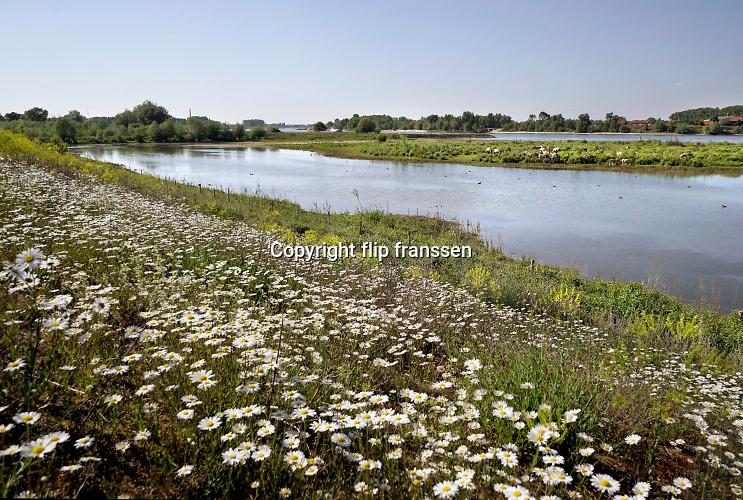 Nederland, Ooijpolder, 23-5-2020 Aan de dijk groeien mooie veldbloemen zoals margrieten in deze lente . Aan deoverkant van de strang graast een kudde wilde paarden, konikpaarden, koniks .  Foto: Flip Franssen