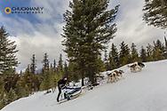 Climbing uphill at The Flathead Classic dog sled race near Olney, Montana, USA