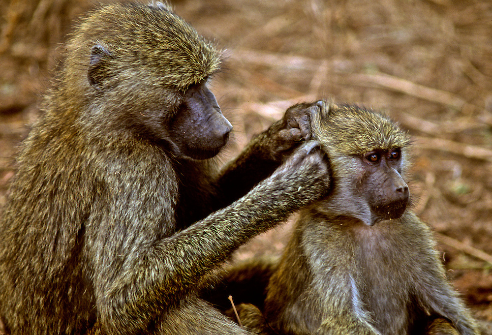 Monkeys grooming each other.