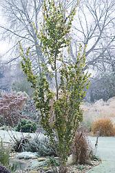 Ulmus minor 'Dampieri Aurea' syn. U. x hollandica 'Dampieri Aurea', syn. U. hollandica Wredei - Golden Dutch Elm in winter