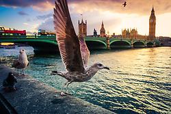 Gaivotas as margens do Rio Tâmisa, com as Casas do Parlamento (Palácio de Westminster), Património Mundial da UNESCO e a Ponte de Westminster ao fundo, em Londres, Inglaterra, Reino Unido, Europa. FOTO: Jefferson Bernardes/ Agência Preview