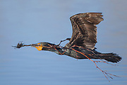 Stock Photo of Double-crested Cormorant captured in Colorado.  These birds lack the ability to waterproof their feathers, which help them in underwater dives by decreasing their bouyancy.