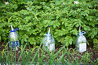 plastic bottles used as cloches