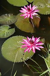 Lilies in pond at Aguas Claras Hotel; near Pinar del Rio; Cuba,
