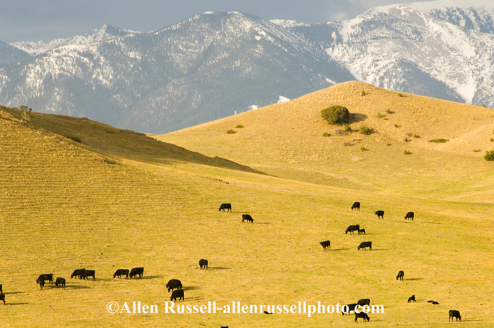 Black Angus Cattle graze on spring grass in the foothills of Absaroka Mountains east of Livingston, Montana - also called Aberdeen Angus