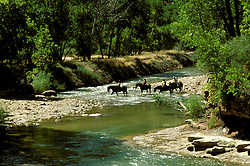 UT: Utah; Zion National Park, Horseback riding along the Virgin River      .Photo Copyright: Lee Foster, lee@fostertravel.com, www.fostertravel.com, (510) 549-2202.Image: utzion214.
