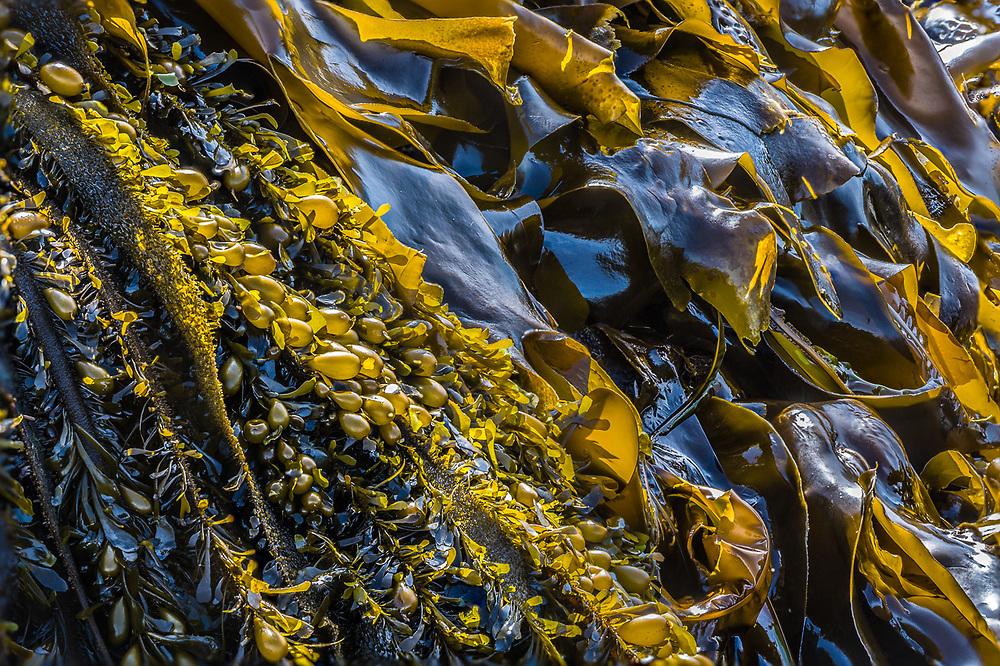 Kelp, Tongue Point Marine Sanctuary, Strait of Juan de Fuca, Clallam County, Olympic Peninsula, WA. USA
