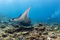Divers watch a Manta glide past<br /> <br /> Shot in Indonesia