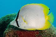 Spotfin Butteflyfish (Chaetodon ocellatus)<br /> BONAIRE, Netherlands Antilles, Caribbean<br /> HABITAT & DISTRIBUTION: Reef tops.<br /> Florida, Bahamas, Caribbean, Gulf of Mexico, Bermuda south to Brazil.