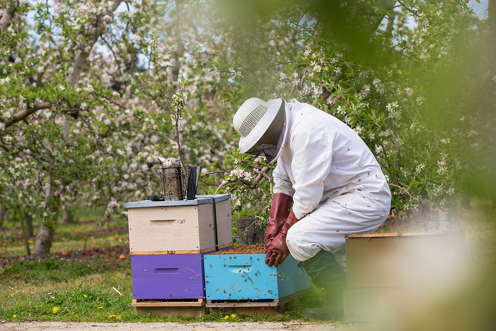 bee keeper attends bee hives in an apple orchard in blossom season