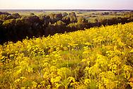 Goldenrod around Petropaulovsk, Kazakhstan