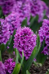Hyacinthus orientalis 'Miss Saigon' AGM