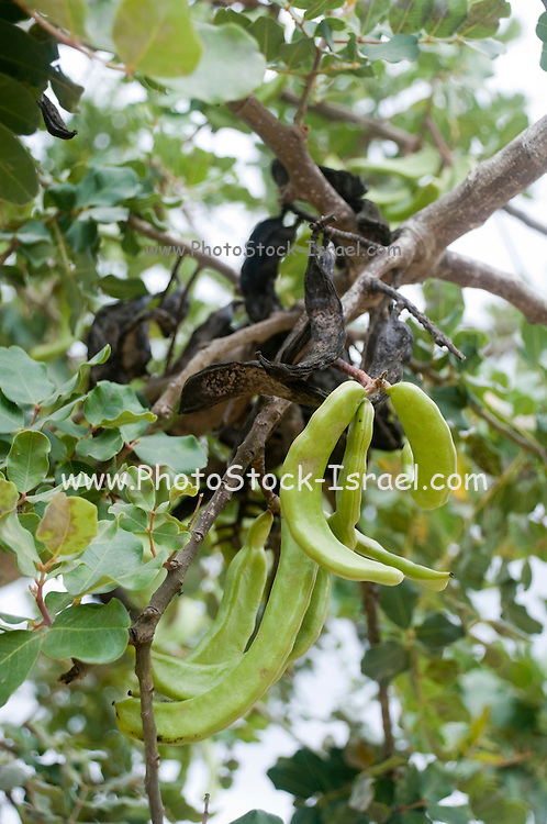 Israel, Carmel Mountain, old and new pods on a Carob tree April 2008