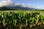 Taro Fields, Hanalei, Kauai, Hawaii<br />