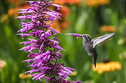 After feeding on a hyssop blossom recently, a hummingbird pulls back to find a flower stuck on its beak. (Steve Ringman / The Seattle Times)