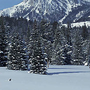 Gray Wolf, (Canis lupus) Crossing Snowy meadow. Bridger mountains. Rocky mountains. Winter. Captive Animal.