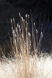 Backlit grasses, Ladder Ranch, west of Truth or Consequences, New Mexico, USA.