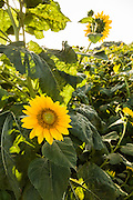 Sunflowers blooming at Botany Bay Plantation in Edisto Island, South Carolina.