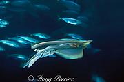 big skate, Raja binoculata (c), Monterey Bay Aquarium, California