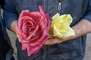 Rosa di Gorizia or Isontina