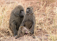 Male and female Olive Baboons, Papio anubis, in Serengeti National Park, Tanzania