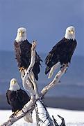 Alaska. Homer spit. Kenai Peninsula, Kachemak Bay, Bald Eagles (Haliaeetus leucocephalus) roost on a log on the beach. Eagles mate for life.