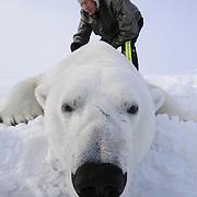 Dr Steven Amstrup collects data from a polar bear on the Beaufort Sea, Alaska.