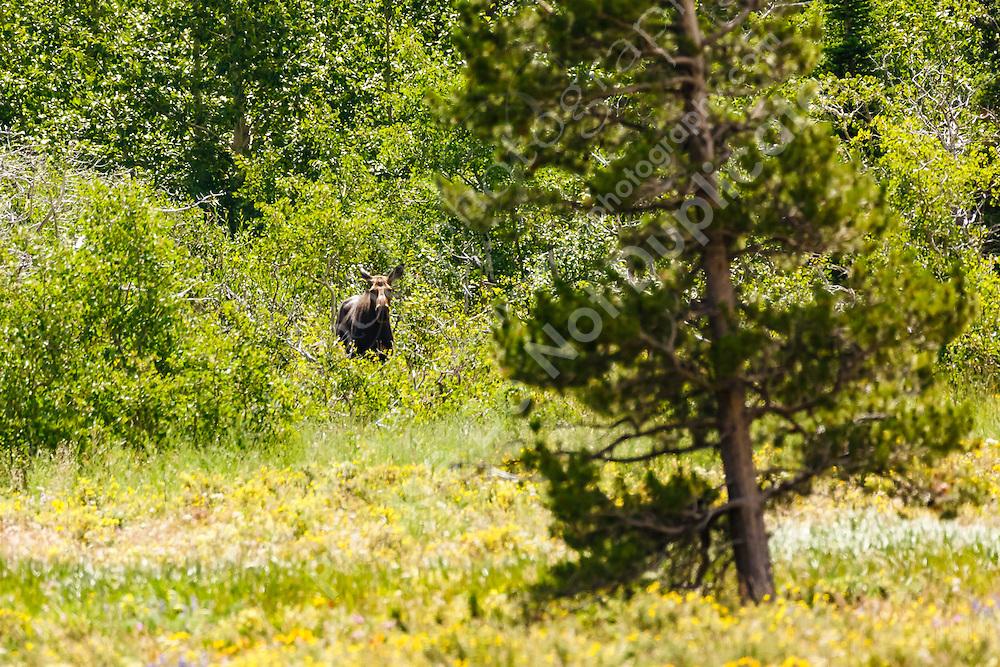 A Moose calf in the Many Glacier region of Glacier National Park<br /> <br /> ©2016, Sean Phillips<br /> http://www.RiverwoodPhotography.com