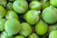 Fresh peas from a Fraser Valley organic vegetable garden in British Columbia, Canada