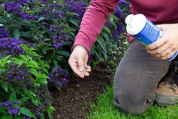 Scattering slug pellets on a border around heliotrope plants