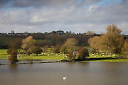 Swan and sheep share flooded water meadow in Windrush Valley, The Cotswolds, UK