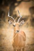 Impala, Luangwa River Valley Safari, Zambia, Africa