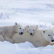 Mother polar bear (Ursus maritimus) and cubs resting. Canada