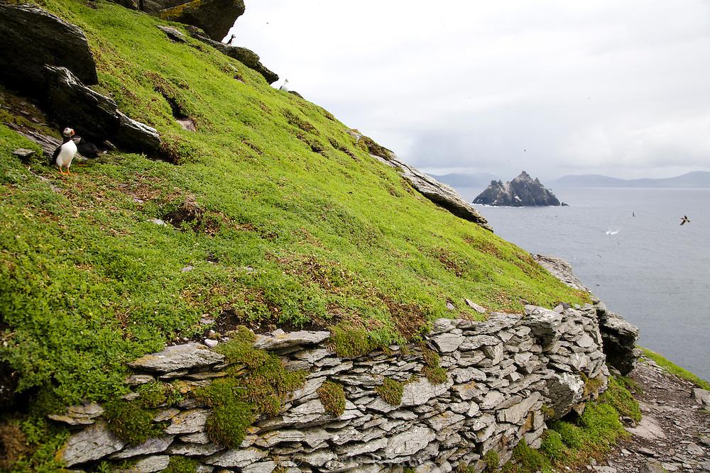 Puffin on Skellig Michael, Skellig Islands (Little Skellig: background), Ireland