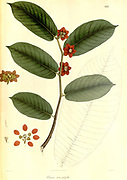 Uvaria macrophyllaFrom Plantae Asiaticae rariores, or, Descriptions and figures of a select number of unpublished East Indian plants Volume II by N. Wallich. Nathaniel Wolff Wallich FRS FRSE (28 January 1786 – 28 April 1854) was a surgeon and botanist of Danish origin who worked in India, initially in the Danish settlement near Calcutta and later for the Danish East India Company and the British East India Company. He was involved in the early development of the Calcutta Botanical Garden, describing many new plant species and developing a large herbarium collection which was distributed to collections in Europe. Several of the plants that he collected were named after him. Published in London in 1831