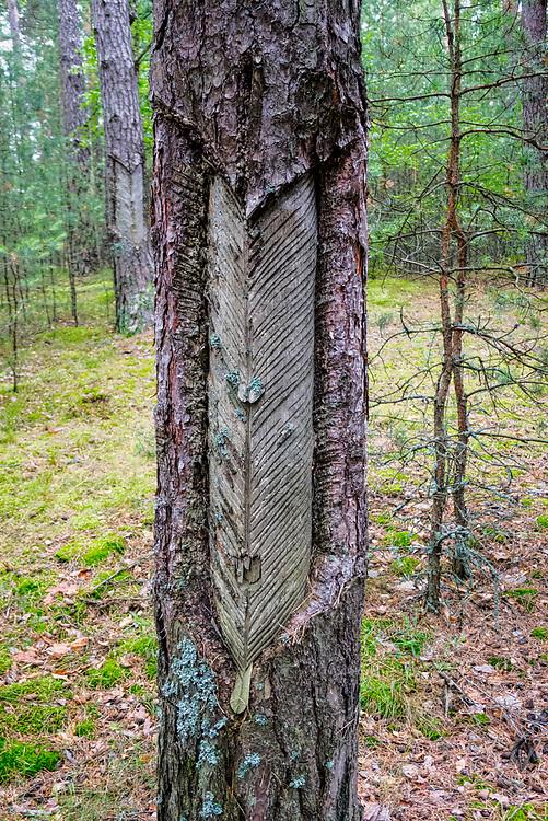 Żywicowanie -  proces pozyskiwania żywicy z drzew, głównie sosny, polegający na nacinaniu kory i zbiorze wycieku do specjalnych pojemników. Kaszubski las w okolicach miejscowości Wdzydze Kiszewskie.