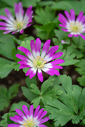 Anemone blanda var. rosea 'Radar' AGM - Winter windflower