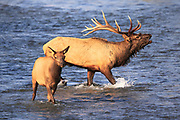 Elk on the National Bison Range, Montana.