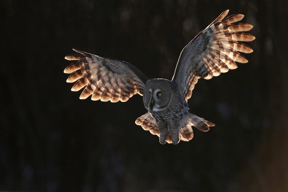 february finland 2009.WILD GREAT GREY OWL; STRIX NEBULOSA; HUNTING; PREDATOR; WINTER; FEBRUARY; COLD; BIRD OF PREY; EUROPE; OULU, FINLAND