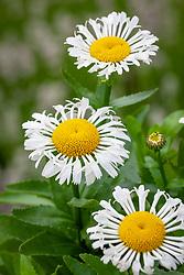 Leucanthemum maximum 'Lacrosse' syn. Leucanthemum × superbum 'Lacrosse' - Shasta daisy