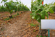 Experiment with chemical weed killer with a sign saying that the soil has been treated with herbicides (desherbement chimique) at the experimental vineyard of the CIVC at Plumecoq near Chouilly in the Cote des Blancs It is used for testing clones soil treatment vine treatments spraying, Champagne, Marne, Ardennes, France