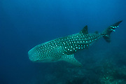 Whale Shark (Rhincodon typus)<br /> Off of Wolf Island<br /> GALAPAGOS ISLANDS<br /> ECUADOR.  South America<br /> Open water oceanic. Occasionally cruise along walls.  Usually around Roca Redonda, Wolf and Darwin Islands.