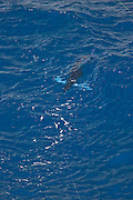 Swimming White Marlin stalking and biting trolled bait.