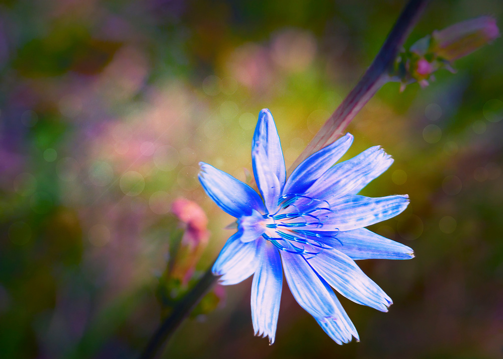 Common chicory is a somewhat woody, perennial herbaceous plant of the dandelion family Asteraceae, usually with bright blue flowers, rarely white or pink. Many varieties are cultivated for salad leaves, chicons, or roots, which are baked, ground, and used as a coffee substitute and food additive.