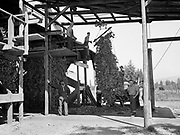 5588Loading hop vines into the rack of the stationary pickek at the E. Clemens Horst hop ranch near Independence, Oregon. September 1, 1942.
