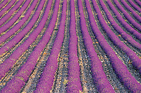 France - Provence - Vaucluse - Sault-  Champs de Lavande