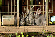 these are amercian blues or bevreen rabbits