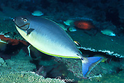 sleek unicornfish or blacktongue unicornfish,<br /> Naso hexacanthus, partly changed from <br /> pale to dark color phase while being cleaned <br /> by cleaner wrasse, Labroides dimidiatus,<br /> color change sequence #2 of 3, Sipadan Island,<br /> off Borneo, Sabah, Malaysia ( Celebes Sea )