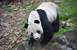 DUJIANGYAN, Dec. 21, 2016  Photo taken on Dec. 21, 2016 shows aged giant panda ''Peng Peng'' at the Dujiangyan Base of China Conservation and Research Center for the Giant Panda in southwest China's Sichuan Province. There are eight giant pandas above 20 living at the Dujiangyan base. The Dujiangyan base, which undertakes the work of disease control and prevention for pandas, also acts as a nursing home for aged pandas.  lfj) (Credit Image: © Xue Yubin/Xinhua via ZUMA Wire)