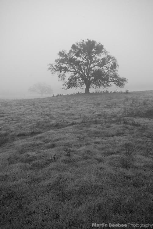 Oaks in fog, near Ione, California
